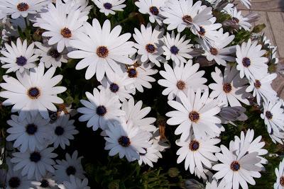 las flores de la dimorfoteca son mis favoritas